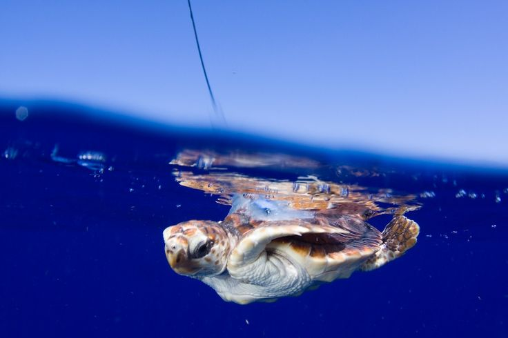 Satellite data shows that loggerhead sea turtles spend lots of time on the surface. (NMFS Permit 1551) Credit: Jim Abernethy