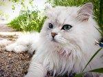 Персидские кошки http://xn--80aai6cb.xn--p1ai/%d0%bf%d0%b5%d1%80%d1%81%d0%b8%d0%b4%d1%81%d0%ba%d0%b8%d0%b5-%d0%ba%d0%be%d1%88%d0%ba%d0%b8/  Нежный и привязчивый котенок перс — обаятельное и умное домашнее животное еще «с пеленок». Даже в раннем возрасте маленький любимец не будет громко и жалобно мяукать. Персидские коты имеют покоряющий, тихий нрав, очень привязаны к хозяину, любят ласку и в благодарность тихонько мурлыкают. Характеристики породы Это идеальная порода. Персы будут пристально…