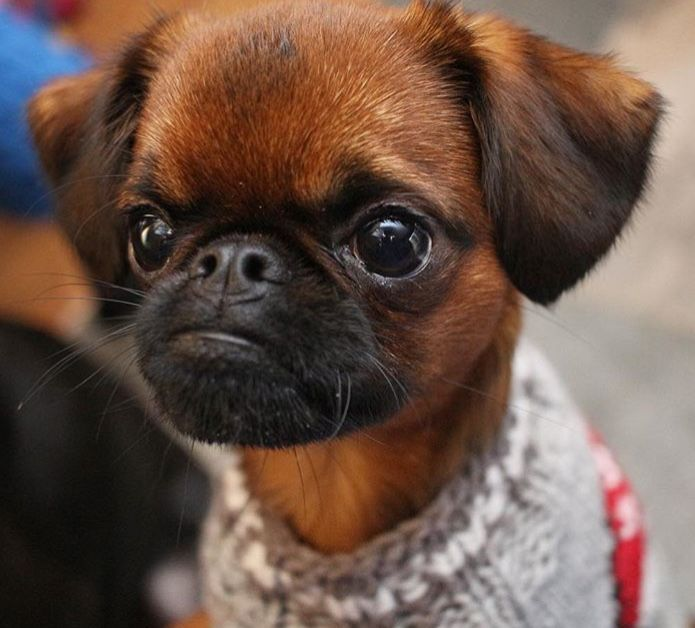 8 Best Smooth Coat Brussels Griffons Images On Pinterest Smooth Brussels Griffon And Little Dogs