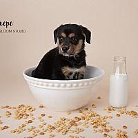 Denver, Colorado - Welsh Corgi. Meet Crepe, a for adoption. https://www.adoptapet.com/pet/20573940-denver-colorado-welsh-corgi-mix