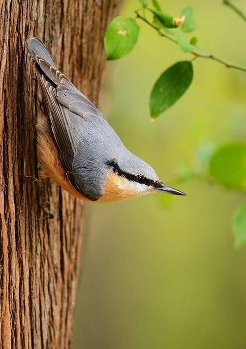 Red-breasted Nuthatch ♥ ♥ www.paintingyouwithwords.com