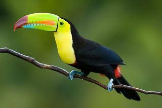 Tucano de bico arco íris - A ave de rapina mediana tem pluminhas em vermelho na extremidade inicial , finalizando em preto. A cabeça é pequena, olho redondo e negro destacado por um verde-limão que o circunda. O bico é bem colorido e longo, parte inferior reta e a superior, côncava com a ponta bem curvada. O bico inicia em verde-limão, na divisória da abertura, uma pincelada em laranja, na ponta inferior, outra pincelada em azul turquesa e a superior, em roxo com a pontinha, em vermelho.