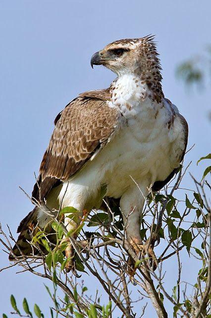 * Águia-Marcial/Águia-Belicosa * (Polemaetus bellicosus).