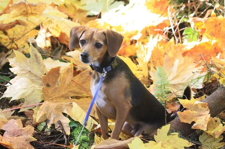 Sami - Pocket Beagle  2 years old