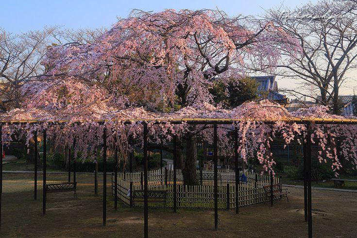 市川市原木の妙行寺に植生している樹齢50年ほどのシダレザクラである。毎年、春の彼岸の頃には咲き始め、桜の開花を待ちわびる近隣からの観桜人で賑わう。千葉県下の名桜では、随一の早咲き桜ではないだろうか。