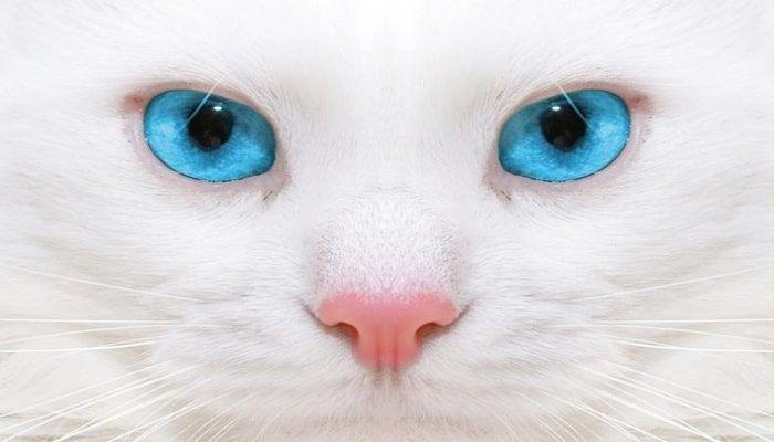 Cáncer De Nariz En Gatos: Diagnóstico, Causas, Síntomas Y Recomendaciones