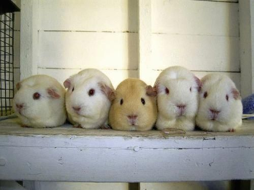 cute animalsCute Animal, Little Pigs, Beds, Pets, Roses26M Image, Families Time, Cute Little Animal, Cutest Animal, Guinea Pigs