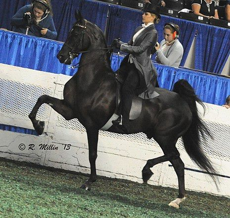 he Mighty Mouse (Sir William Robert x Hollywood Bucks) and Hannah Houske - Reserve Champion in the 3 Gait Jr Ex 14-17 Championship — with Hannah Houske.Beautiful American, Saddles Seats, American Saddlebred, Gaited Horses, Black Horses, Horses Saddlebred, Horsey Things