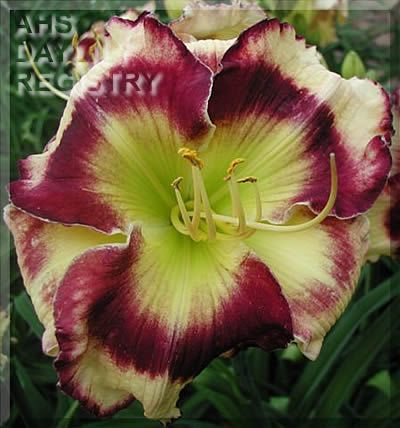 328 Best Images About Barbs Daylilies And Louisiana Iris