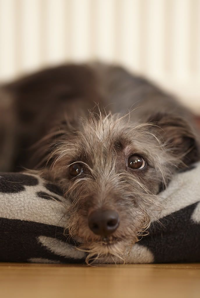 Bonzo, he's a 4.5 year old Whippet/Bedlington Terrier cross.