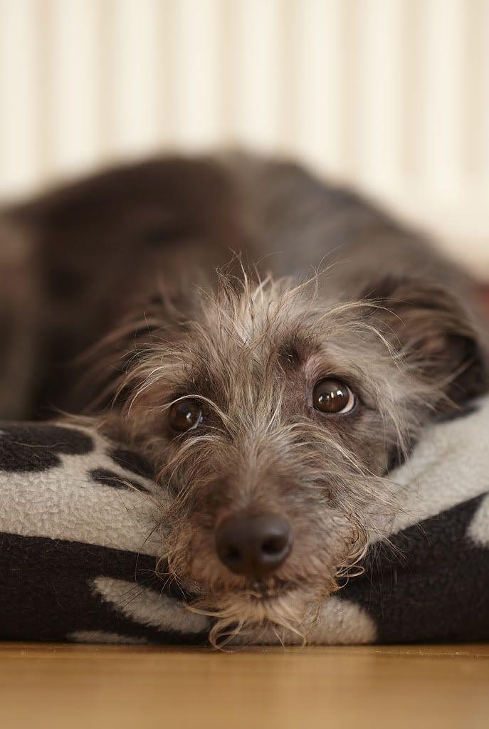 Bonzo, he's a 4.5 year old Whippet/Bedlington Terrier cross.