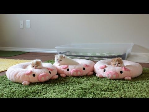 I'm going to level with you. If you're looking for a video that's adorable and has things that happen, this is not your video. If you're looking for a video of tiny, poofy kittens being incredibly adorable and sitting on cute pig cushions and sometimes mewing, falling asleep or wobbling around, this here is the jackpot!