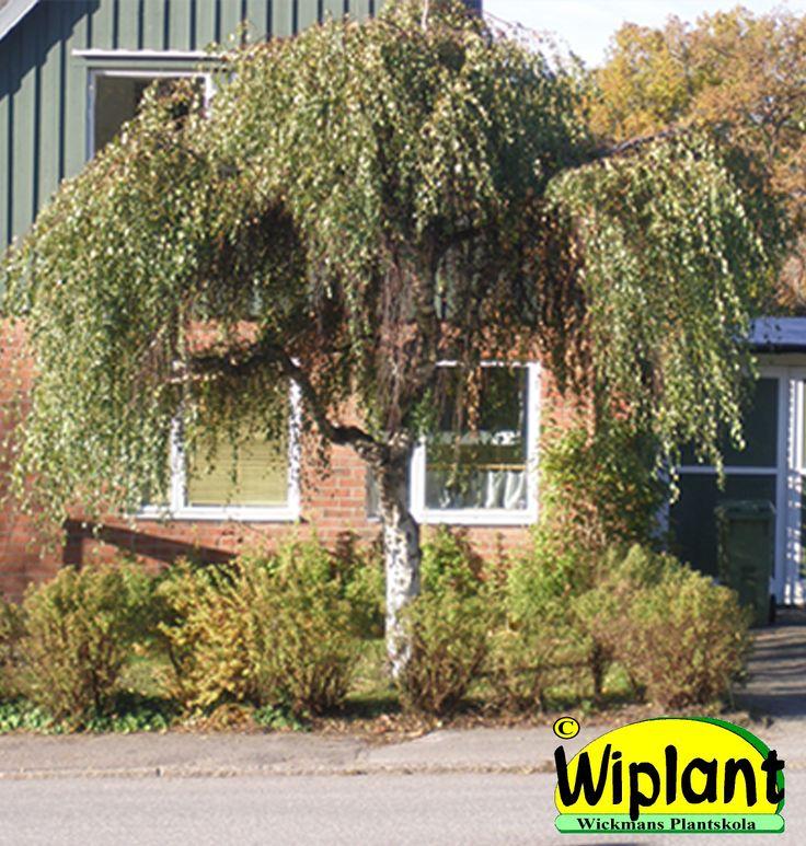 Betula pendula 'Youngii', Tårbjörk. Hängande grenar. Höjd: 3-6 m. Bredd: 4-6 m.