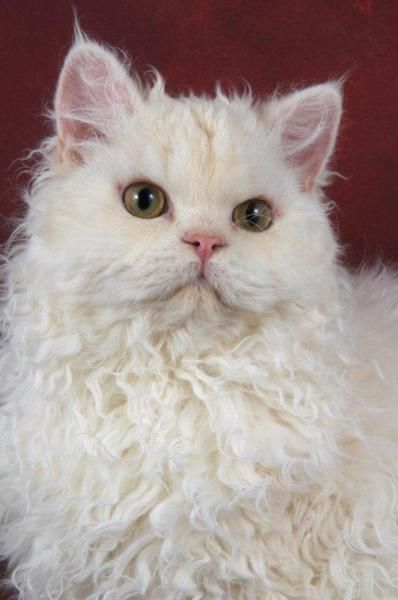 The Selkirk Rex Cat Breed is one of the newest natural breeds, this naturally curly cat originated from a house-cat. Selkirks are fun-loving, mellow cats with a generous measure of love and affection for their human companions. The Selkirk Rex is an easy-going relaxed cat that resembles a soft, stuffed toy that you just want to pick up and hug. One of the rexed breeds