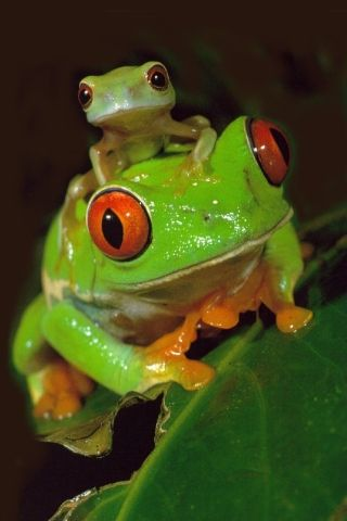 Red Eye Tree Frogs