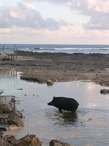 Fakaofo's fishing pigs - Tokelau