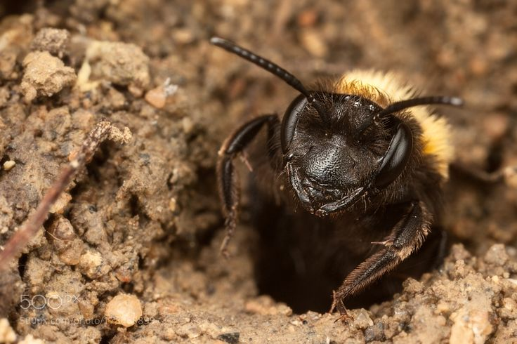 Tawny Mining Bee by antonycooperba. @go4fotos