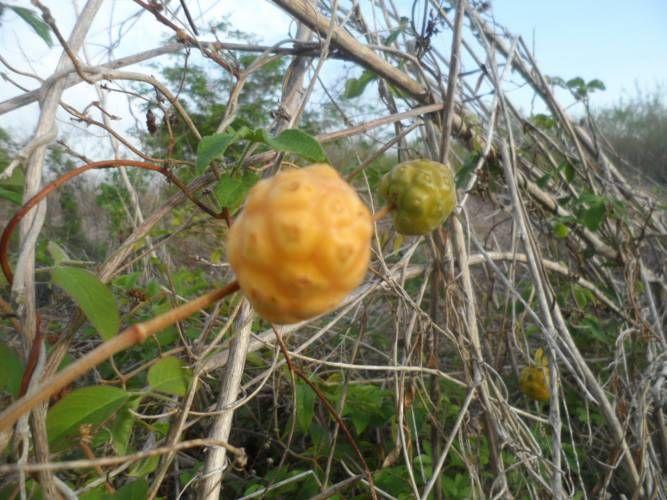 Liliana Usvat - Reforestation and Medicinal use of the Trees : Maya Srubs Piñuela Yucateca
