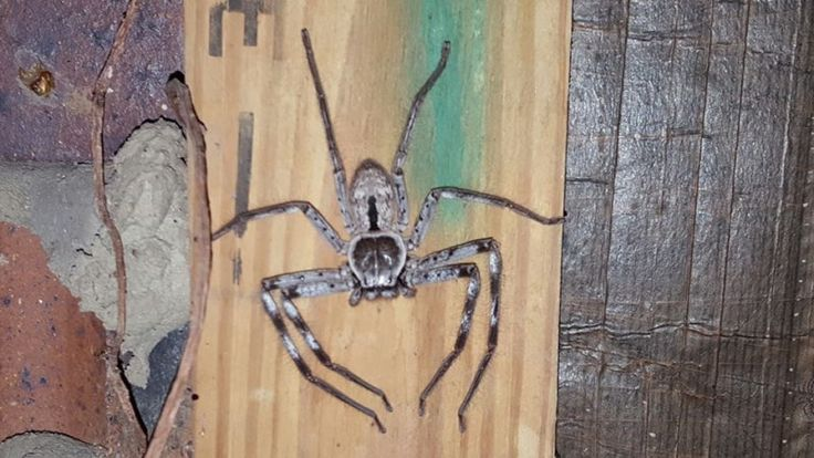 Giant huntsman spider along with hundreds of spiderlings spotted by pest controller! [VIDEO]