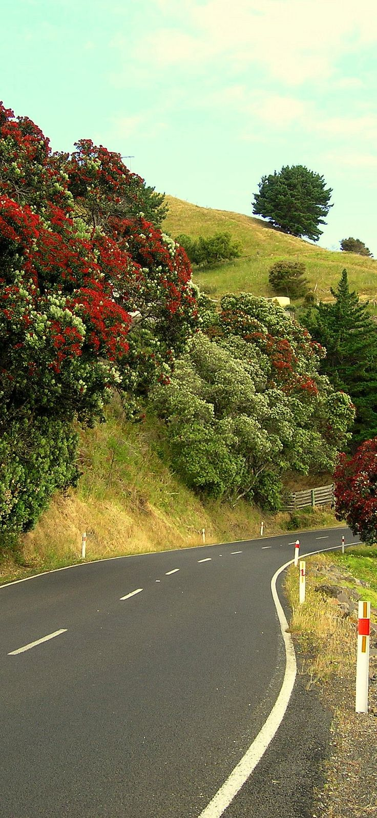 Coromandel West Coast with flowering Pohutukawas - NZ
