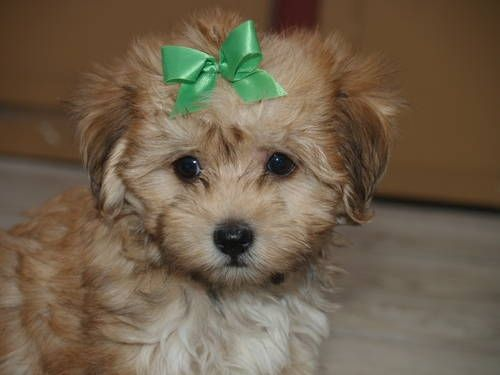 maltese mixed with poodle best 25 maltese poodle ideas on pinterest maltese 1155