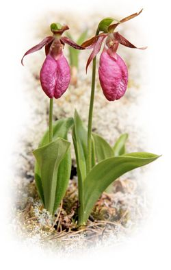 Provincial flower of Prince Edward Island  - Lady slipper