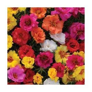 Portulaca grandiflora 'Happy Hour Mixture' - 1 packet (80 portulaca seeds)
