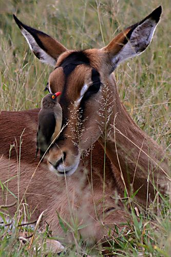 Impala Kruger National Park, South Africa (Apr 2006) por Cor Lems en Flickr