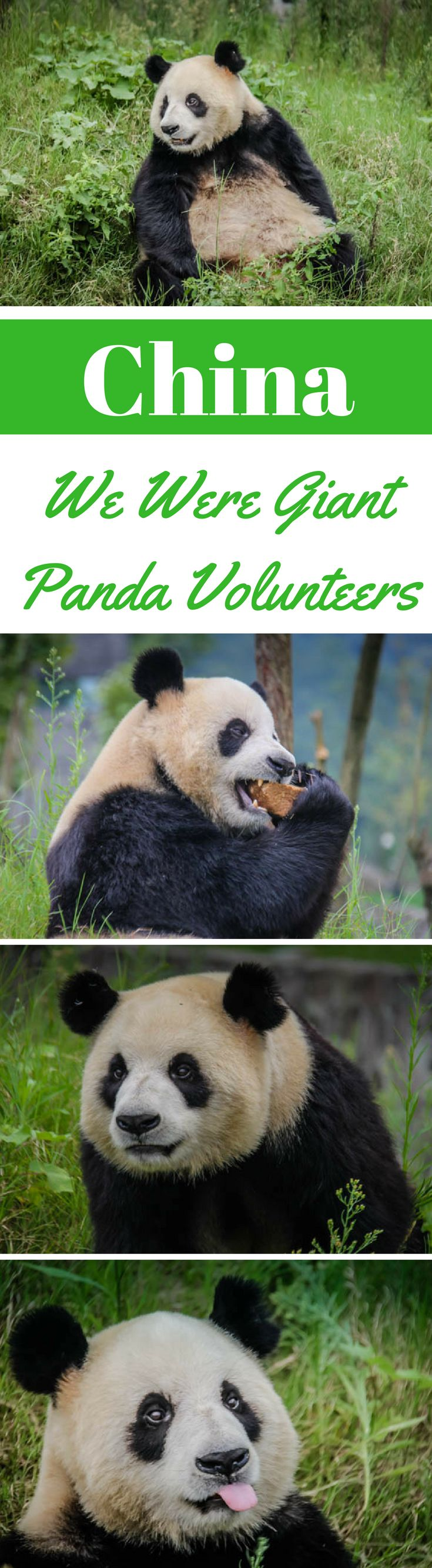 We Were Giant Panda Volunteers in China.  A visit to China would be incomplete without taking a chance to get up close and personal with China's Giant Panda. Since zoo's really are not our thing and we prefer seeing animals in a more natural environment, we decided to see China's famous icon at one the 3 Panda Research Centers that reside near Chengdu in Western China. Click to read more. #China #Travel #Panda