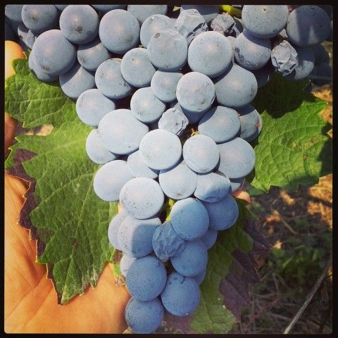 The grapes Barbera d'Alba