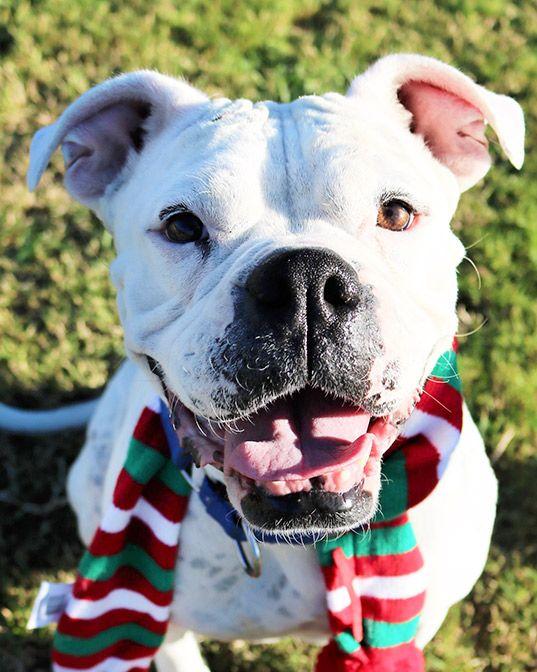 Bulloxer Dog For Adoption In San Antonio Tx Adn 736946