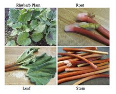 Parts of a rhubarb plant. (Photo from mommymoment.ca)