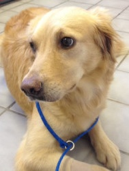 This is Sophie and she is 2 years old. She was a breeder dog and is a little timid when meeting people and in new situations She would like a canine pal in her forever home but no kids she needs a quiet, calm place to live with a patient and committed family. Sophie is looking for a forever home and is at Adopt a Golden Atlanta.