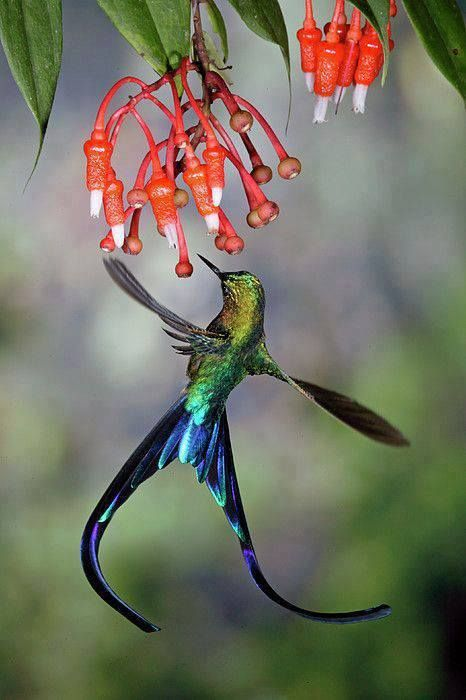Long-tailed Hummer.  Thanks to Costa Rica Easy (FB)