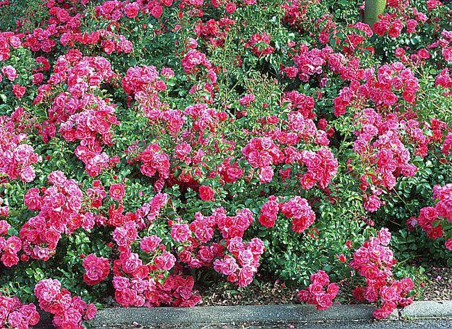 Planter un rosier couvre sol, tapis fleuri au jardin d'ornement : conseils et bons gestes.