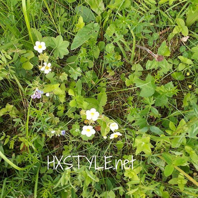 LUONTO. PUISTOT, METSÄT, Niityt...KATSELE, KUUNTELE, haistele... Tutki lähempäntä mitä Kaikkea Lähiympäristössäsi löytyy ja on? Kuvassa on PUISTON Luonnon Metsämansikoita, kukkia joista myöhemmin kasvaa IHANIA METSÄMANSIKOITA. Nam, Tykkään. Olen kerännyt useasti. SUOSITTELEN...HYMY #luonto #kesä #elämäntapa #ulkoilu #kukat #kasvit #metsämansikat #tutki #katsele #suosittelen #tykkään ❤☺⏰