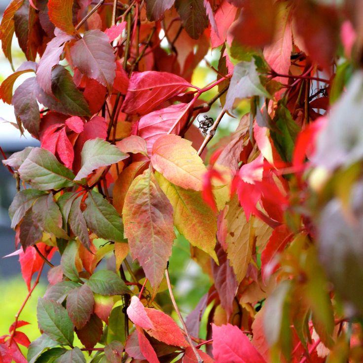 Creeper / autumn colors