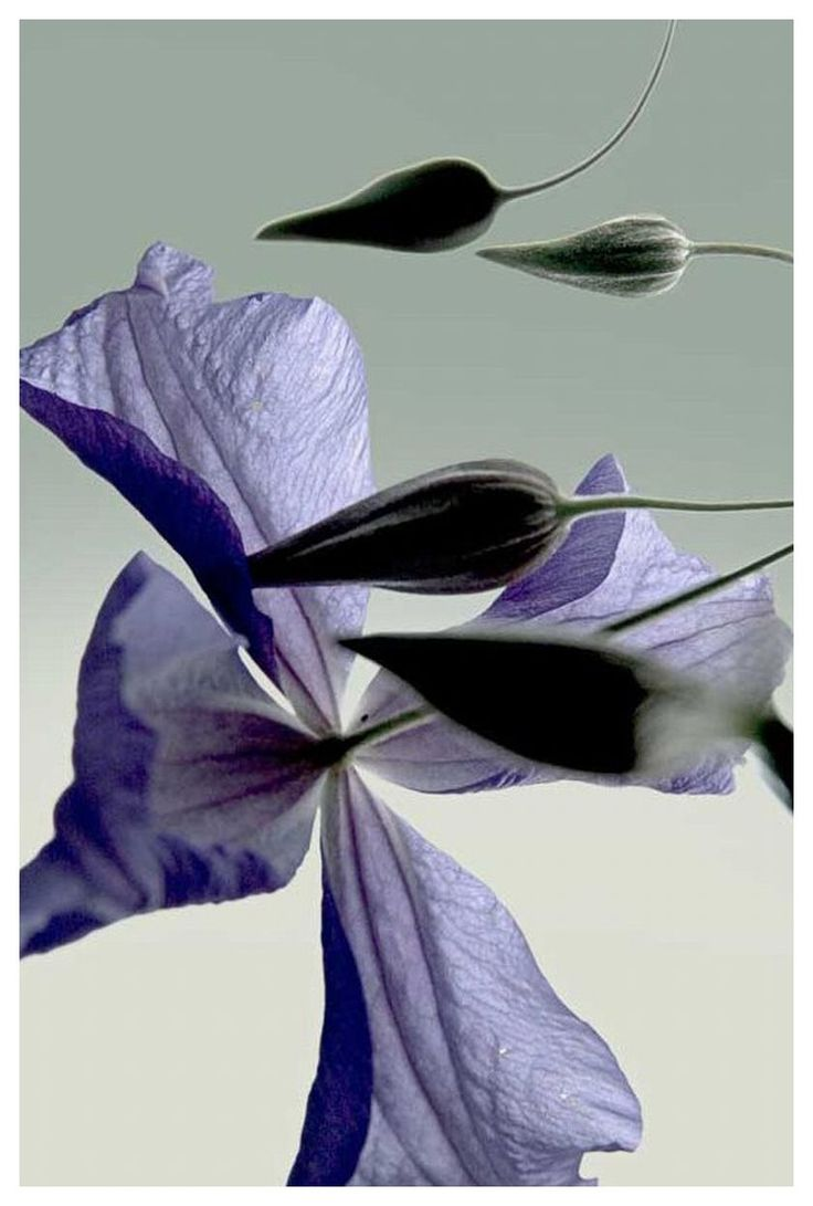 """David Lebe      On May Hill, Clematis, 2005, archival pigment print, 14 x 9.25 """", Edition 15, P.O.R.: 9 25, 2005, Purple Flowers, Art, Bloom"""