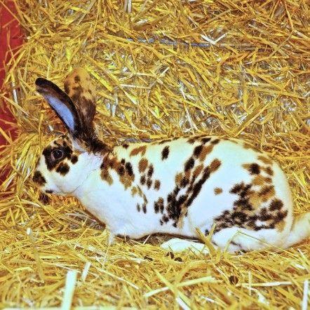 ---Rex Dalmatien Tricolore---  L'originalité de cette race, reconnue officiellement en France en 1924, réside dans son pelage semblable à du velours.  Les premiers lapins Rex furent observés en 1919. Ils étaient alors de couleur brune uniforme apparentée à celle du castor. Pour cette raison la race fut baptisée Castorex avant d'être plus communément désignée sous le nom de Rex. Plusieurs croisements allaient donner des variante, dont le fameux dalmatien tricolore.