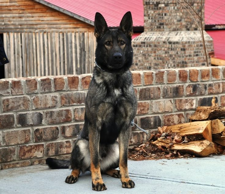 Canine Protection Dog for Your Home. Thinking ill train my next dog in protection.