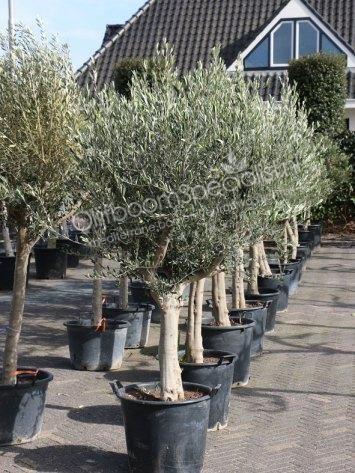 """De Olea europaea """"Lessini"""". Deze olijfbomen kunnen het Nederlandse klimaat uistekend verdragen."""