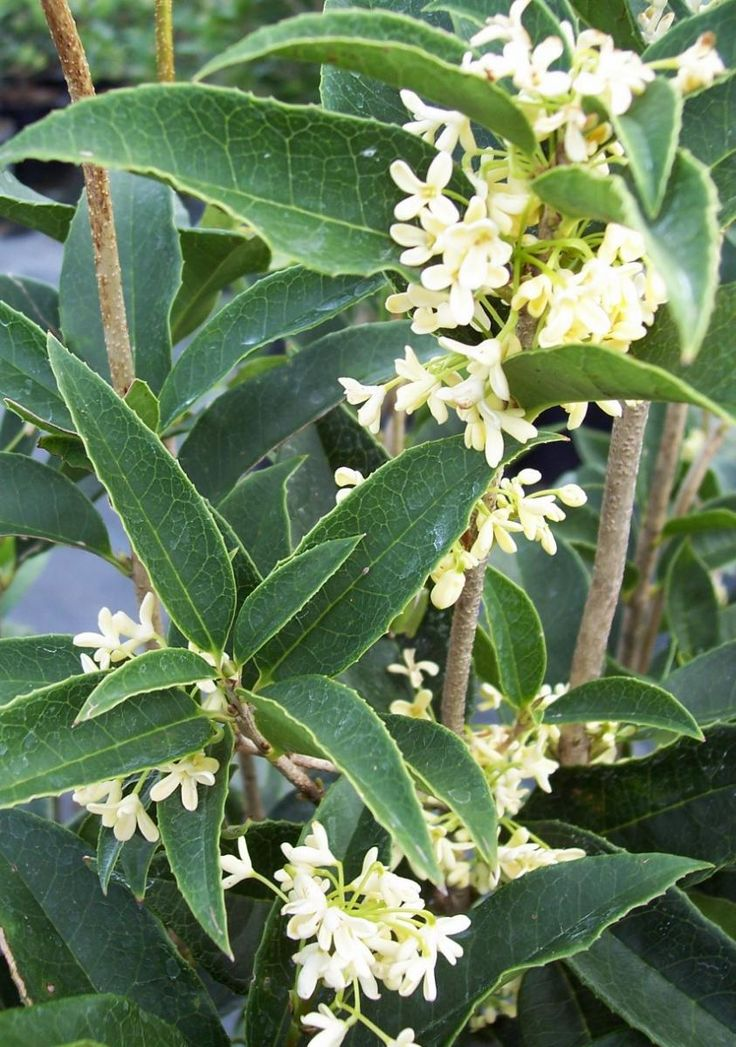 tea olive (osmanthus fragrans)...my very favorite smelling bush!...loooove!!!! :)