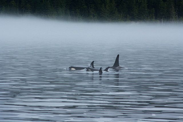 """spekkhoggere: """" Northern Resident Orcas by cgrossonPHOTO on Flickr. """""""
