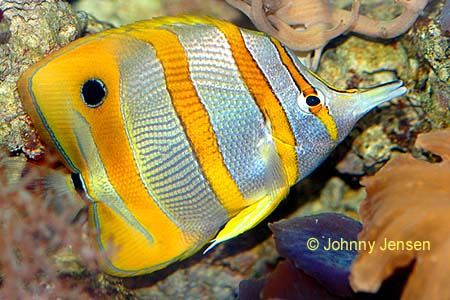 pics of tropical fish   Tropical fish and aquarium information about saltwater species, fish ...