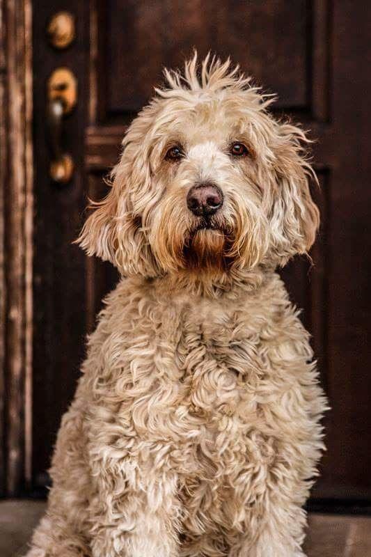 Pin Von Barbara Rathmanner Auf Goldendoodle Schone Hunde Hunde Tiere Hund