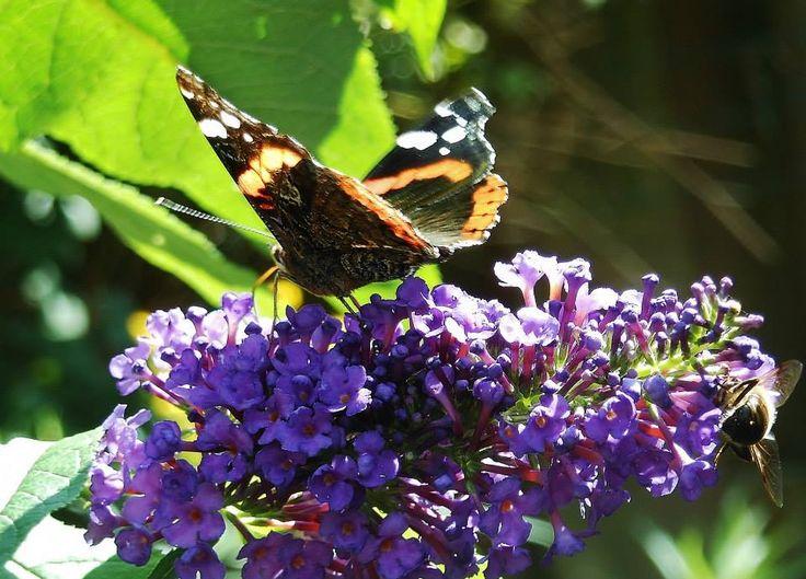 Een atalanta op mijn vlinderstruik.