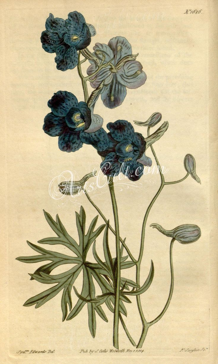 blue_flowers-00192 1686-delphinium grandiflorum, Great-flowered Larkspur  botanical floral botany natural naturalist nature flowers flower beautiful nice flora plants blooming ArtsCult.com Artscult ArtsCult vintage printable public domain 300 dpi commercial use 1800s 1700s 1900s Victorian Edwardian art clipart royalty free digital download picture collection pack paintings scan high qulity illustration old books pages supplies collag
