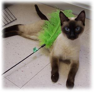 Siamese Cat Rescue Center - Main Website This is where I got my little Sullie!