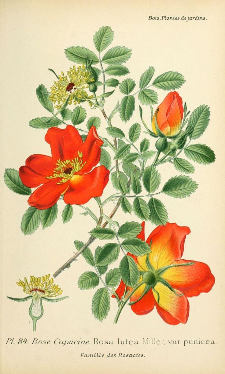 509 best vintage flowers herbs and medicinal plants images on pinterest botanical - Dessin de rose ...