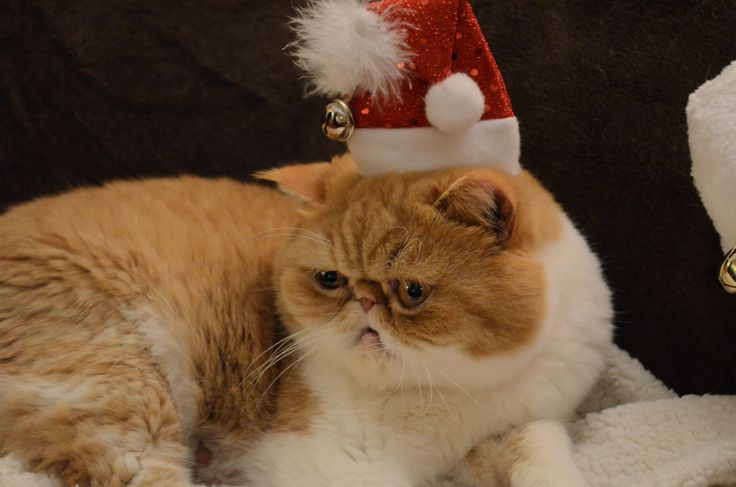Chester the cat in a Santa hat for Christmas!